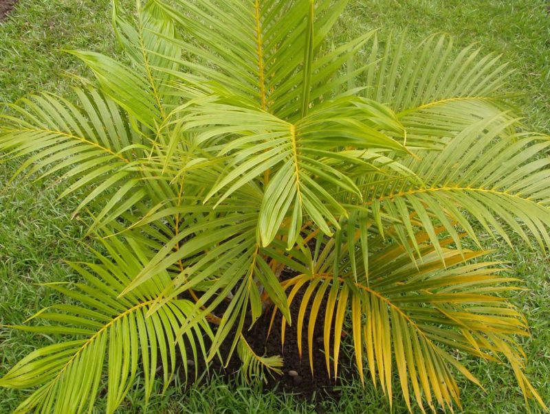 Пальма арека желтоватая
