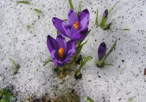 Весенние первоцветы в саду. Какие цветы можно посадить на своем участке весной