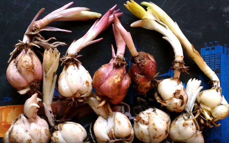 Как выбрать луковицы лилий для посадки