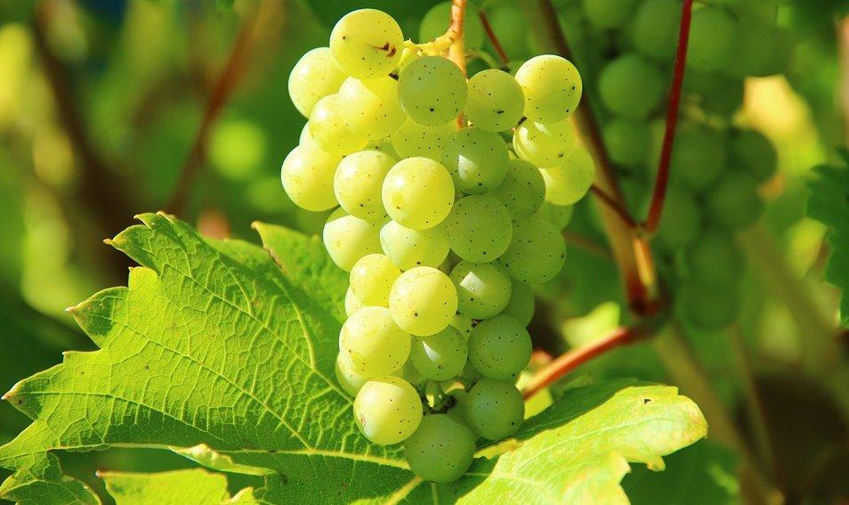 Весенняя подкормка и удобрения для винограда