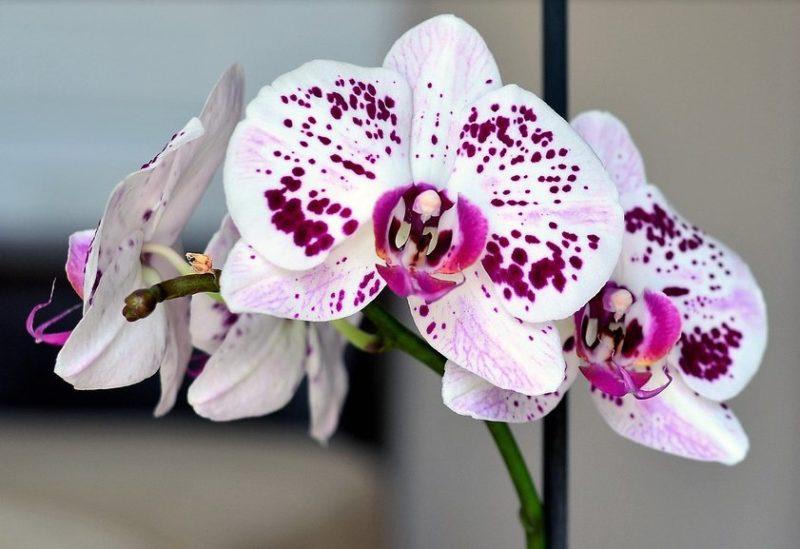 Как правильно пересадить орхидею в домашних условиях: пересадка и дальнейший уход