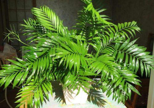 Хамедорея — виды и описание растения. Особенности ухода в домашних условиях.